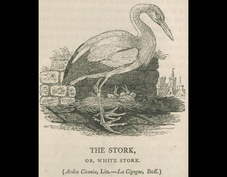 British Birds: Vol 2, Water Birds, page 32