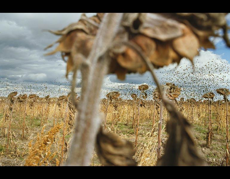 Blackbirds, from My Dakota, 2005–11. Rebecca Norris Webb (American, born 1956). Type- C Photographic Print, 26 x 35 ½ in. Courtesy of the artist.