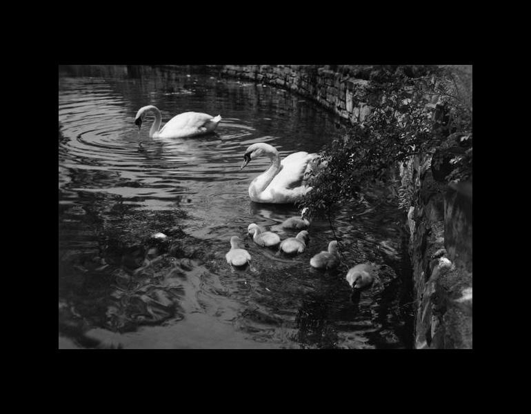 Philip and Elizabeth and their cygnets in the Fine Arts Garden lagoon, June 3, 1951. Photograph Collection, CMA Archives.